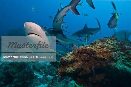 Caribbean reef shark (Carcharhinus perezii), Roatan, Bay Islands, Honduras, Caribbean, Central America