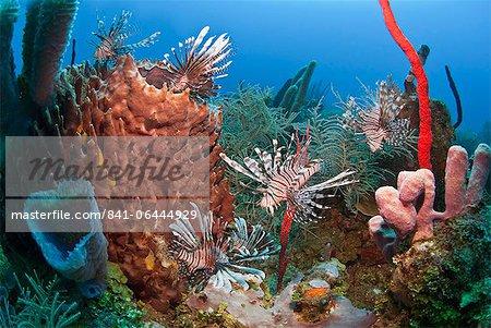 Beaucoup de poisson lion (Pterois volitans) et éponge baril géant (Xestospongia muta), Roatan, Honduras, îles de la baie, des Caraïbes, l'Amérique centrale