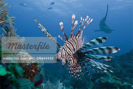 Lionfish (Pterois volitans), and Caribbean reef shark (Carcharhinus perezii), Roatan, Bay Islands, Honduras, Caribbean, Central America