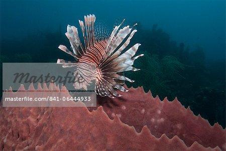 Lionfish (Pterois volitans) and giant barrel sponge (Xestospongia muta), Roatan, Bay Islands, Honduras, Caribbean, Central America