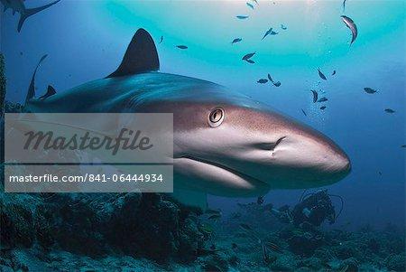 Close up of Caribbean reef shark (Carcharhinus perezii) swimming with a diver, Roatan, Bay Islands, Honduras, Caribbean, Central America