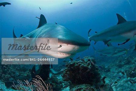 Close up of Caribbean reef shark (Carcharhinus perezii) swimming with diver, Roatan, Bay Islands, Honduras, Caribbean, Central America