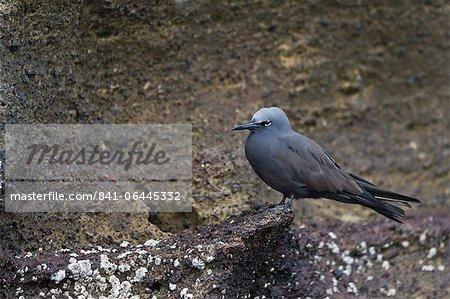 Noddi brun (Anous stolidus), île Isabela, îles Galápagos, Heritge mondial de l'UNESCO, Equateur, Amérique du Sud