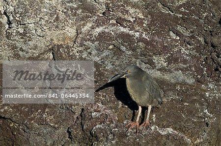 Adult striated heron (Butorides striata), Puerto Ayora, Santa Cruz Island, Galapagos, UNESCO World Heritge Site, Ecuador, South America
