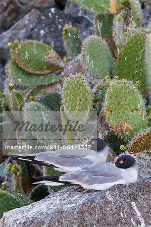 Swallow-tailed gull (Creagrus furcatus), Genovesa Island, Galapagos Islands, UNESCO World Heritge Site, Ecuador, South America