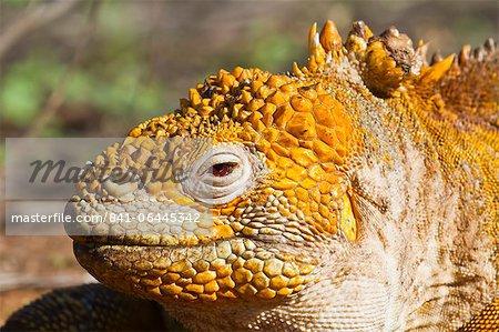 Iguane terrestre de Galapagos, (Conolophus subcristatus), île de Santa Cruz, aux îles Galapagos, l'UNESCO World Heritge Site, Equateur, Amérique du Sud