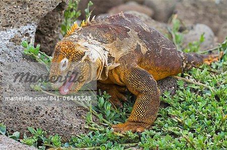 Galapagos iguanes (Conolophus subcristatus), débarquer au nord Seymour Island, les îles Galapagos, l'UNESCO World Heritge Site, Equateur, Amérique du Sud