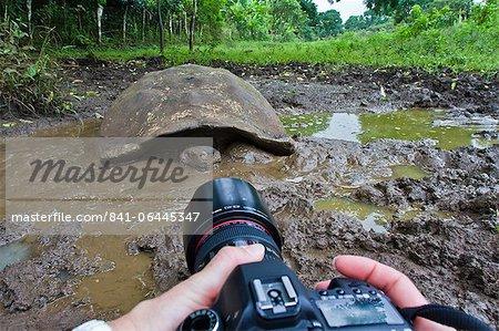 Sauvage tortue des Galapagos (Geochelone elephantopus), île de Santa Cruz, aux îles Galapagos, Equateur, Amérique du Sud