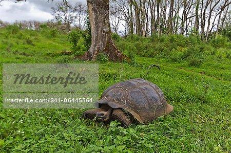 Sauvage tortue géante des Galapagos (Geochelone elephantopus), île de Santa Cruz, aux îles Galapagos, l'UNESCO World Heritage Site, Equateur, Amérique du Sud
