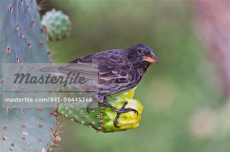 Adult cactus finch (Geospiza scandens), Santa Cruz Island, Galapagos Islands, UNESCO World Heritage Site, Ecuador, South America