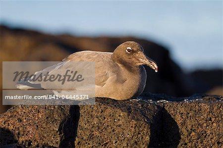 Lava gull (leucophaeus fuliginosus), Cerro Brujo, San Cristobal Island, Galapagos Islands, UNESCO World Heritage Site, Ecuador, South America