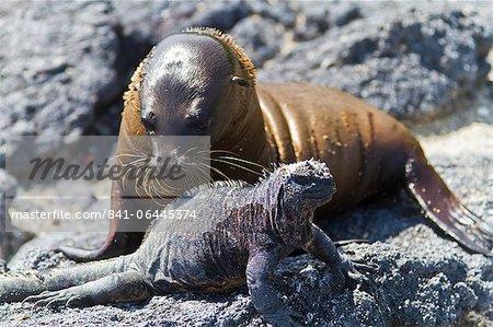 Galapagos iguane marin (Amblyrhynchus cristatus), l'Île Fernandina, îles Galápagos, UNESCO World Heritage Site (Equateur), Amérique du Sud