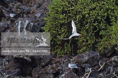 Red-billed tropicbirds (Phaethon aethereus), Punta Pitt, San Cristobal Island, Galapagos Islands, UNESCO World Heritage Site, Ecuador, South America