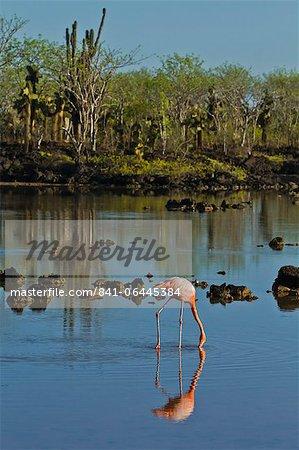 Greater flamingo (Phoenicopterus ruber), Cerro Dragon, Santa Cruz Island, Galapagos Islands, UNESCO World Heritage Site, Ecuador, South America
