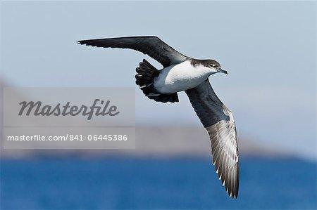 Galapagos Puffin (Puffinus subalaris), Punta Pitt, île de San Cristobal, aux îles Galapagos, patrimoine mondial de l'UNESCO, Equateur, Amérique du Sud