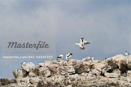 Fou de Nazca (Sula grantii), Punta Suarez, île de Santiago, aux îles Galapagos, patrimoine mondial de l'UNESCO, Equateur, Amérique du Sud