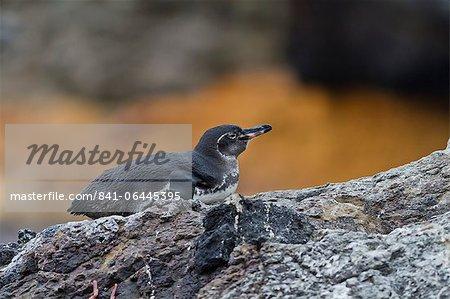 Penguin adulte des Galapagos (Spheniscus mendiculus), île Isabela, îles Galápagos, UNESCO World Heritage Site, Equateur, Amérique du Sud