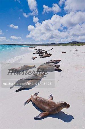 Lions de mer des Galapagos (Zalophus wollebaeki), plage de Gardner, île de Santiago, aux îles Galapagos, patrimoine mondial de l'UNESCO, Equateur, Amérique du Sud