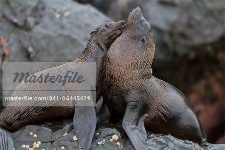 Galapagos fur seals (Arctocephalus galapagoensi), Isabela Island, Galapagos Islands, UNESCO World Heritage Site, Ecuador, South America
