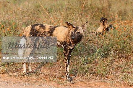 Les chiens sauvages africains (Lycaon pictus), Parc National de Kruger, Afrique du Sud, Afrique