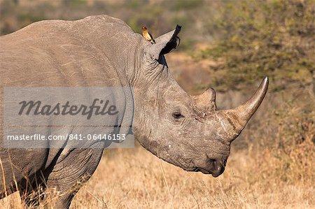 Rhinocéros blanc (Ceratotherium simum), Imfolozi game reserve, KwaZulu-Natal, Afrique du Sud, Afrique