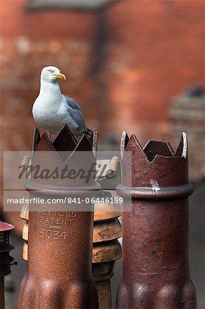 Herring gull (Larus argentatus) on chimney pots in city, Newcastle, England, United Kingdom, Europe