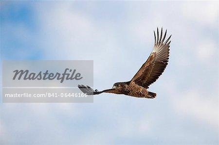 Aigle ravisseur (Aquila rapax) en vol, Kgalagadi Transfrontier Park, Afrique du Sud, Afrique
