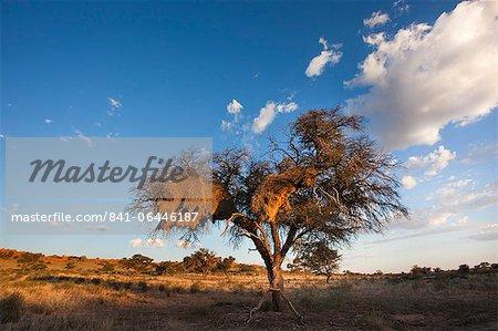 Paysage au crépuscule, avec arbre de thorn, Kgalagadi Transfrontier Park, Northern Cape, Afrique du Sud, Afrique