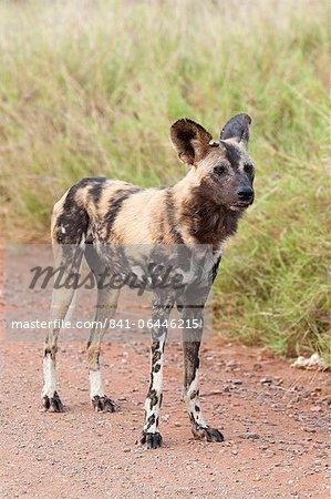 Lycaon (Lycaon pictus), Parc National de Kruger, Afrique du Sud, Afrique