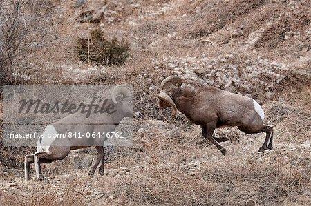 Deux mouflons (Ovis canadensis) béliers étaient chefs durant le rut, Clear Creek County, Colorado, États-Unis d'Amérique, l'Amérique du Nord