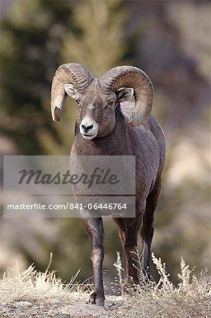 Mouflons (Ovis canadensis) ram durng le rut, Clear Creek County, Colorado, États-Unis d'Amérique, Amérique du Nord