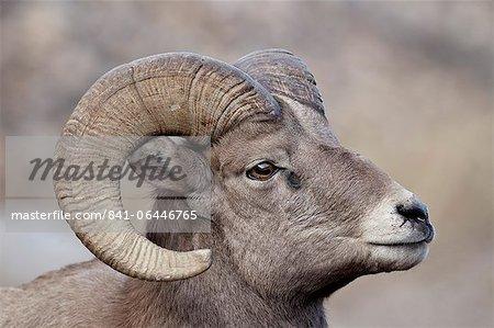 Das Dickhornschaf (Ovis Canadensis) ram Durng der Brunft, Clear Creek County, Colorado, Vereinigte Staaten von Amerika, Nordamerika