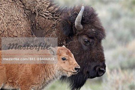Veau de bison (Bison bison) en face de sa mère, Parc National de Yellowstone, Wyoming, États-Unis d'Amérique, l'Amérique du Nord