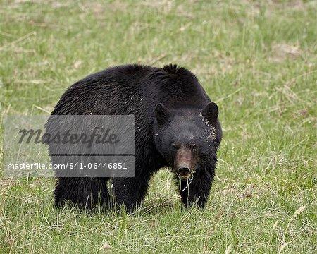 Ours noir (Ursus americanus) manger, Parc National de Yellowstone, Wyoming, États-Unis d'Amérique, l'Amérique du Nord
