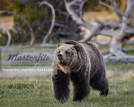 Grizzli (Ursus arctos horribilis), marche, Parc National de Yellowstone, Wyoming, États-Unis d'Amérique, l'Amérique du Nord