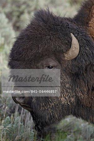 Bison (Bison bison) bull, Parc National de Yellowstone, Wyoming, États-Unis d'Amérique, l'Amérique du Nord