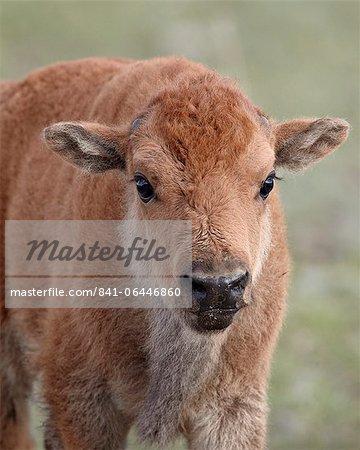 Bison (Bison Bison) Kalb, Yellowstone Nationalpark, Wyoming, Vereinigte Staaten von Amerika, Nordamerika