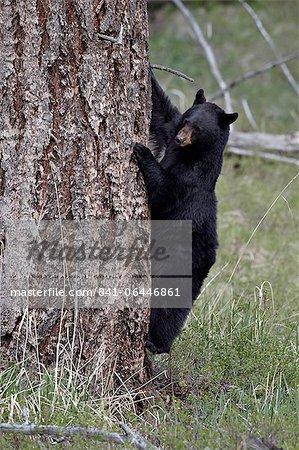 Ours noir (Ursus americanus) en descendant d'un arbre, Parc National de Yellowstone, Wyoming, États-Unis d'Amérique, l'Amérique du Nord