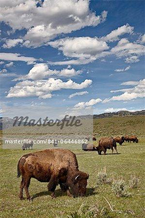 Bison (Bison bison) vaches broutant, Yellowstone National Park, patrimoine mondial de l'UNESCO, Wyoming, États-Unis d'Amérique, Amérique du Nord
