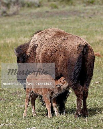 Bison (Bison bison) vache infirmiers son veau, Parc National de Yellowstone, Wyoming, États-Unis d'Amérique, l'Amérique du Nord