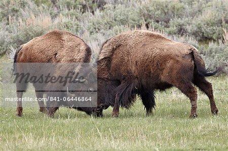 Bison (Bison bison) vaches sparring, Parc National de Yellowstone, Wyoming, États-Unis d'Amérique, l'Amérique du Nord
