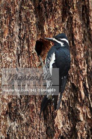 Mâle de Williamson (Sphyrapicus thyroideus) à son nid trou, Parc National de Yellowstone, Wyoming, États-Unis d'Amérique, l'Amérique du Nord