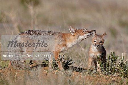 SWIFT-Fuchs (Vulpes Velox) Füchsin Pflege ein Kit, Pawnee National Grassland, Colorado, USA, Nordamerika