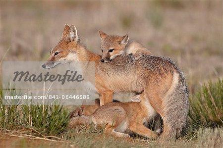 Vixen renard véloce (Vulpes velox) soins infirmiers trois kits, Pawnee National Grassland, Colorado, États-Unis d'Amérique, Amérique du Nord