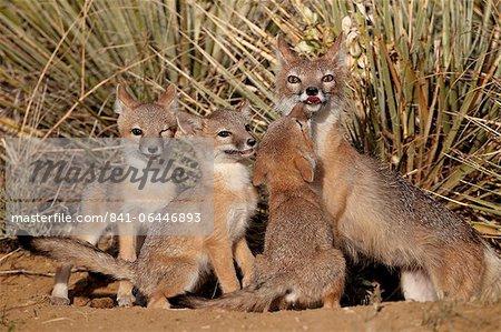 SWIFT-Fuchs (Vulpes Velox) Füchsin und drei Kits auf ihre Den, Pawnee National Grassland, Colorado, Vereinigte Staaten von Amerika, Nordamerika
