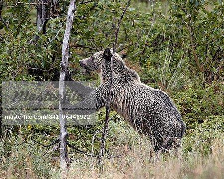 Grizzli (Ursus arctos horribilis) pousse sur un arbre mort, Glacier National Park, Montana, États-Unis d'Amérique, Amérique du Nord