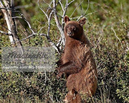 Truie cannelle ours noir (Ursus americanus) et le cub de l'année, le Parc National Glacier, Montana, États-Unis d'Amérique, l'Amérique du Nord