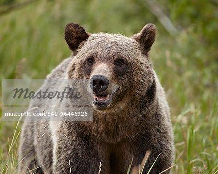 Grizzlybär (Ursus Arctos Horribilis), Glacier National Park, Montana, Vereinigte Staaten von Amerika, Nordamerika