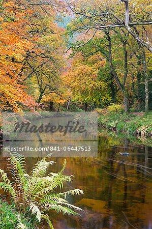 Belles couleurs automnales bordent les rives de la Teign rivière au pont Fingle, Parc National de Dartmoor, Devon, Angleterre, Royaume-Uni, Europe