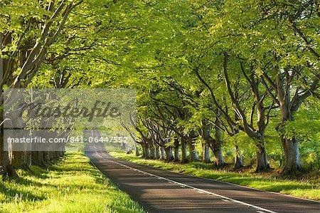Avenue d'arbre de hêtre matin un début de printemps, près de Wimborne, Dorset, Angleterre, Royaume-Uni, Europe